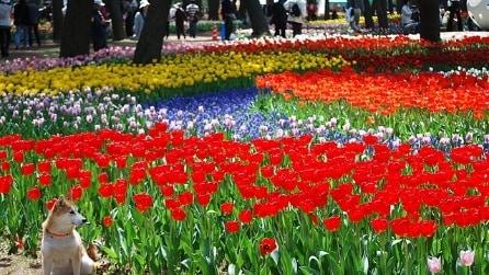 Hitachi Seaside Park, il paradiso dei fiori in Giappone