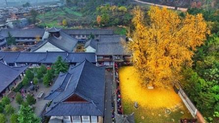 Cina, l'albero millenario perde le foglie e trasforma il parco in un luogo magico