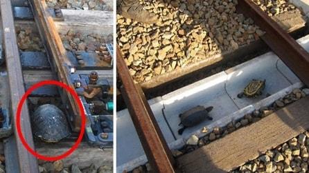 Giappone, anche le tartarughe hanno un sottopassaggio per attraversare i binari