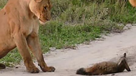 Si imbattono in una volpe ferita: quello che fa la leonessa nei suoi confronti spiazza tutti