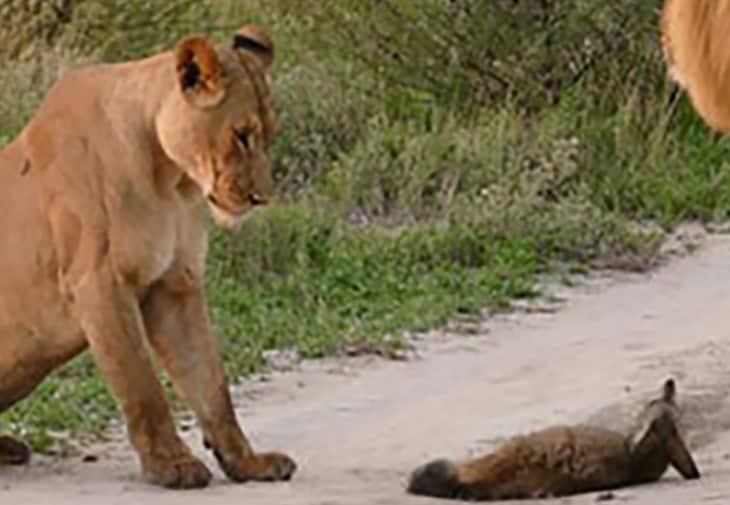 Un otocione o volpe dalle orecchie di pipistrello è una piccola volpe della savana africana. Qui sta per essere sbranata da un leone quando interviene la leonessa.