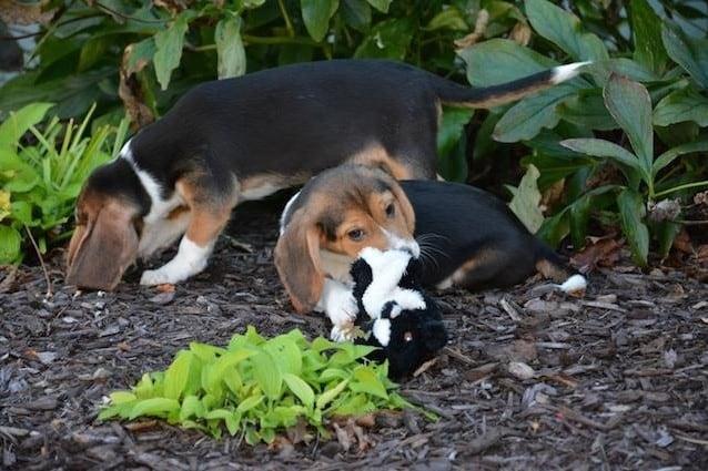 Per la prima volta sono stati fatti nascere 7 cuccioli in seguito a fecondazione in vitro. Responsabili di questa cucciolata sono i ricercatori della Cornell University che, con questa scoperta, sperano di aprire nuove opportunità per la conservazione di specie di cani a rischio estinzione, così come di altri animali. [Foto http://journals.plos.org/plosone/article?id=10.1371/journal.pone.0143930]
