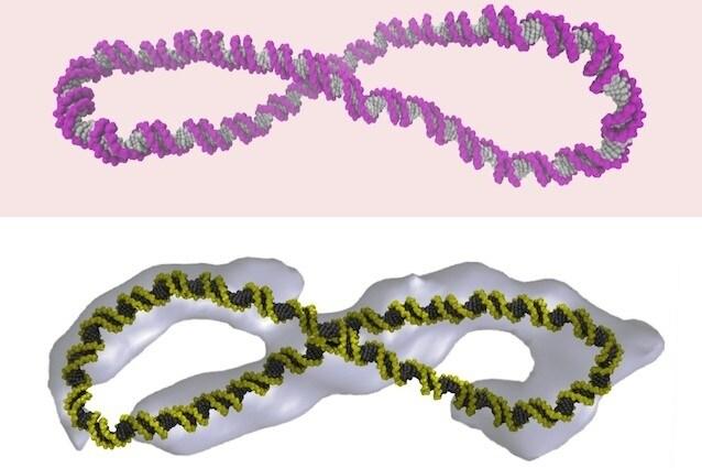Diversamente da quanto creduto fino ad oggi, il DNA non ha solo la classica forma a doppia elica. I ricercatori del Baylor College of Medicine hanno infatti scoperto che il DNA si muove creando costantemente forme diverse, come ad esempio la forma a 8. Questa scoperta aiuterà a realizzare farmaci più efficaci. [Foto http://www.nature.com/ncomms/2015/151012/ncomms9440/full/ncomms9440.html]