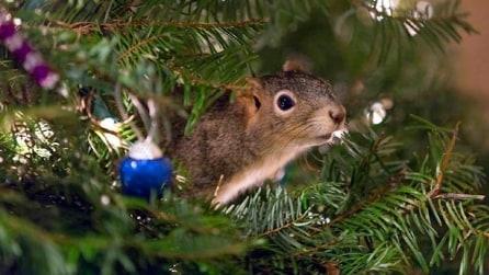 Adotta uno scoiattolo ferito e lo fa vivere nel suo albero di Natale
