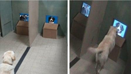 Su uno schermo una mucca, sull'altro un suo simile: la scelta del cane è sorprendente