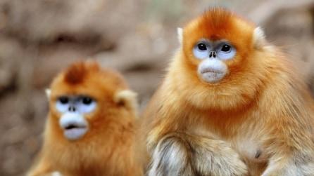 Cina, la rara scimmia dorata che vive nella foresta