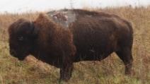Il bisonte colpito da un fulmine sopravvive per miracolo