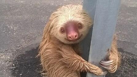 Il salvataggio di un bradipo bloccato in autostrada