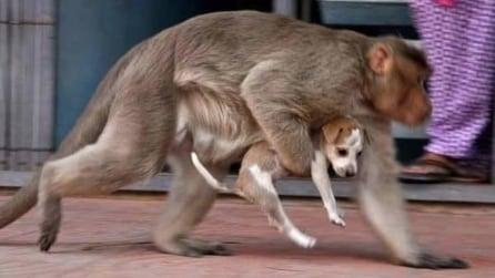 La scimmia adotta il cucciolo di cane: lo difende e lo sfama