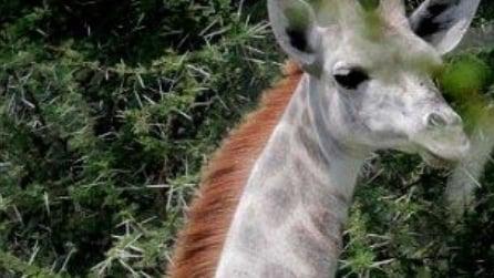 Avvistata la rarissima giraffa bianca, ecco il motivo del suo candore