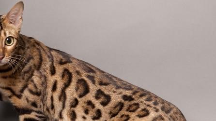 Il gatto che sembra un leopardo, nato per combattere la leucemia