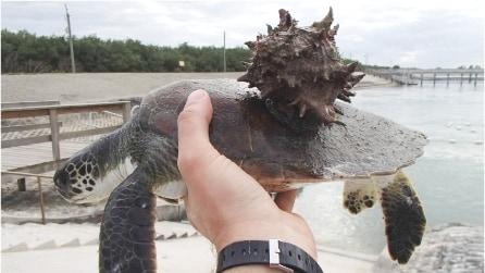 Viveva attaccato al guscio della tartaruga, affaticandola: ecco di cosa si tratta