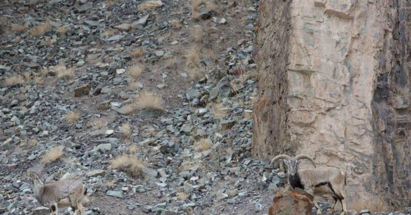 Riesci a individuare il leopardo delle nevi?