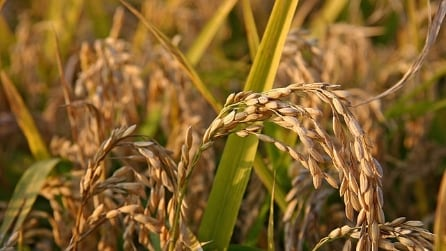 Usi cosmetici del riso