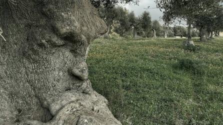Puglia, l'ulivo pensieroso: lo spettacolo della natura fa il giro del web