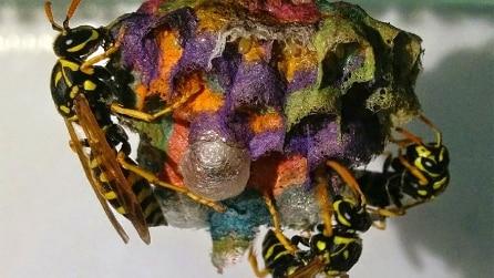 Dà alle vespe carta colorata e loro costruiscono nidi arcobaleno