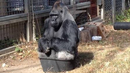 Guardate dove decide di sedersi questo gorilla: non potrete fare a meno di ridere