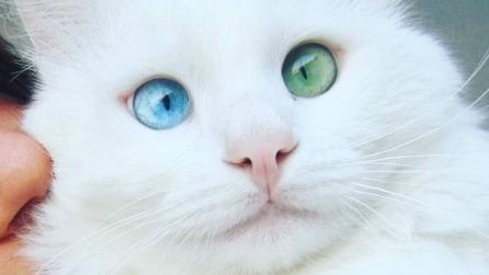 Il gatto che ha ipnotizzato tutti con i suoi occhi diversi