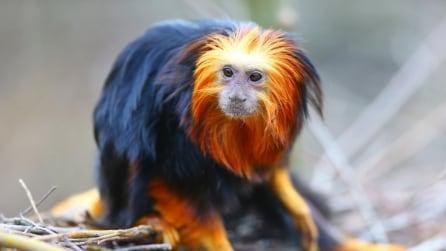 Il leontocebo, la strana scimmia con zampe e criniera colorata