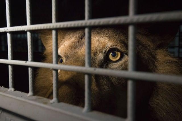 33 leoni stanno finalmente scoprendo il sapore della libertà