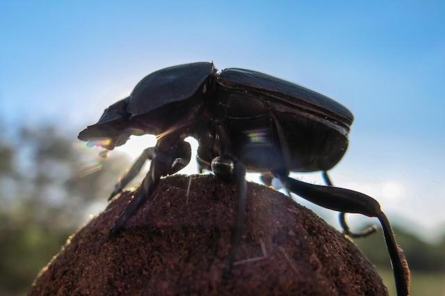 Lo scarabeo stercorario si orienta facendo riferimento alla Via Lattea