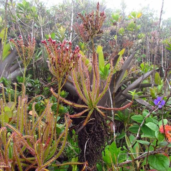 Drosera Magnifica, pianta carnivora di 1,5 metri endemica del Brasile