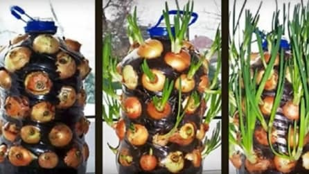 Come coltivare le cipolla in casa: l'idea ingegnosa