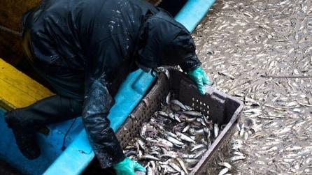 Perché stanno morendo tonnellate di pesci in Cile?