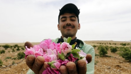 La guerra in Siria sta uccidendo anche la celebre Rosa di Damasco