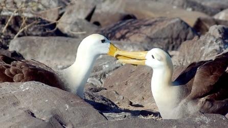 Albatros: una storia d'amore che dura più di 50 anni