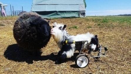 La capra Baine è paralizzata, ma la sua allegria coinvolge tutti gli animali: una storia unica