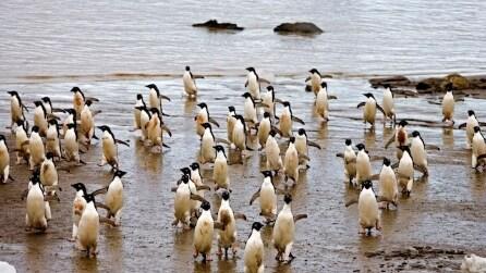 Pinguini di Adelia, gli affascinanti pigoscelidi a rischio estinzione