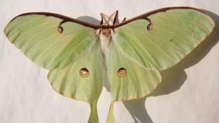 Guarda al microsopio le ali di una falena e la visione è da brividi