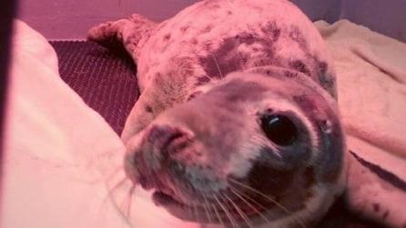 Trovano una foca in fin di vita: ciò che accade in poche settimane vi colpirà