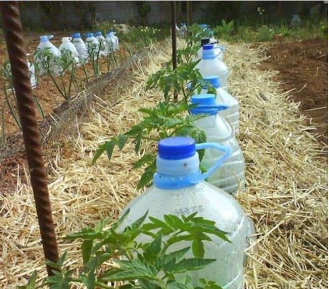 Poggiate le due bottiglie sul terreno, accanto alle piante che devono ricevere l'acqua. Il fieno intorno manterrà l'umidità della terra.