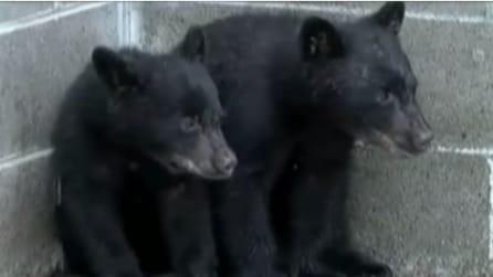 Salva due cuccioli di orso rimasti orfani, ma viene licenziato: la storia di questo dipendente ha dell'assurdo