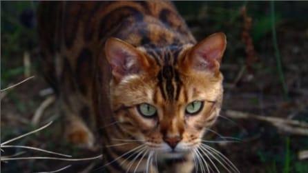 Come avere un piccolo leopardo in salotto: Thor, il gatto del Bengala conquista la rete