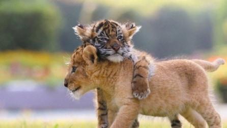L'amicizia che non ti aspetti: tigrotto e leoncino giocano insieme