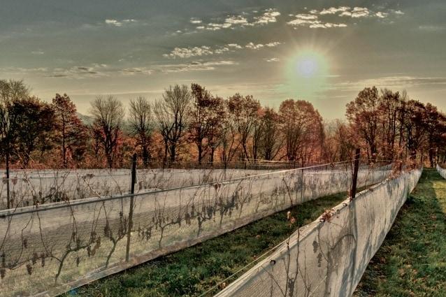 Da quando Jacques Cartier ha scoperto questo territorio, nel 1534, la viticoltura ha assaporato molte sconfitte nel Quebec. I primi piedi di vite importati per il vino morivano gelati e, quando sopravvivevano, l'uva non maturava. Alla fine del XIX secolo alcuni viticoltori piantarono vitigni più rustici. I tentativi sono ripresi nel 1980 con vitigni che sopportano il freddo.