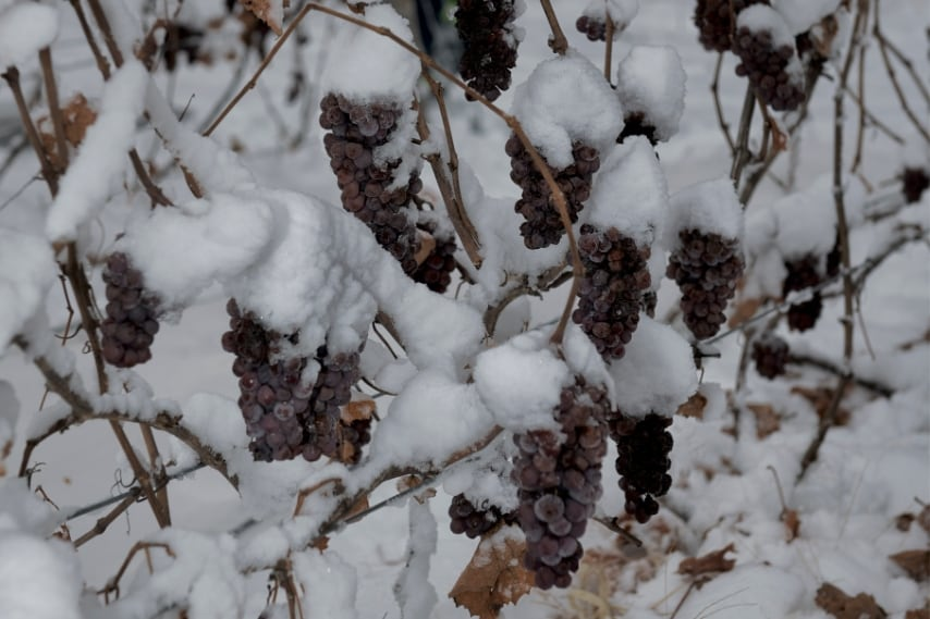La cosa più straordinaria è che il vino di ghiaccio si fa con uva vendemmiata a dicembre o gennaio, con temperature che oscillano fra gli 8 °C e i 12 °C sotto zero. Siccome l'acqua gela a 0 °C, i cristalli di ghiaccio rimangono nella pressa mantenuta a -7 °C: un fenomeno di concentrazione a freddo che si chiama crioselezione. Il succo estratto è più ricco di zucchero e di acidità, e quindi di sent
