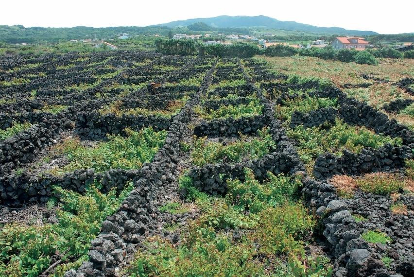 L'arcipelago portoghese dell'Atlantico ha saputo valorizzare il suo territorio poco coltivabile (perché vulcanico e montuoso) piantando vigne. Per proteggerle dal vento, gli isolani hanno scavato buche nelle colate di lava e costruito grandi distese di muretti di basalto, che racchiudono una decina di viti l'una, disegnando così un paesaggio straordinario tutelato dall'Unesco.
