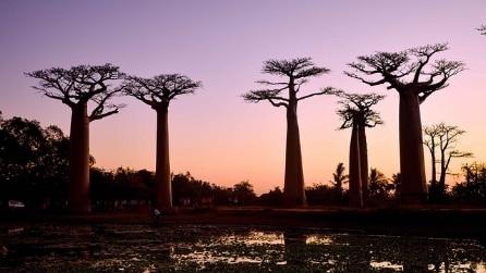 Viale dei Baobab, la meraviglia naturale del Madagascar