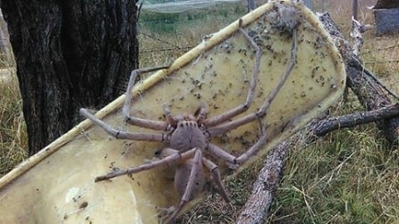 Trova una creatura spaventosa nella sua fattoria: il ragno più grosso mai visto prima