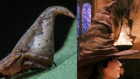 Scoperto il ragno che sembra il Cappello Parlante di Harry Potter