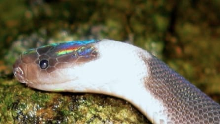 Lo straordinario serpente dalla testa arcobaleno detto Ziggy Stardust in onore di David Bowie