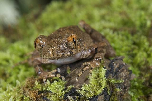 Sebbene sia stata individuata per la prima volta nel 2006, per dare un nome scientifico a questa piccola rana sono stati necessari ben dieci anni. foto di Jodi Rowley: http://wwf.panda.org/what_we_do/where_we_work/greatermekong/discovering_the_greater_mekong/species/new_species/species_oddity/