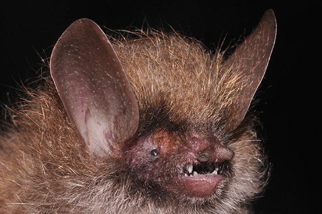 Scoperto su una foresta a 1800 metri di altitudine, questo pipistrello è stato chiamato così per il folto ciuffo di peli che spunta dalla testa. Foto di Nguyen Truong Son: http://wwf.panda.org/what_we_do/where_we_work/greatermekong/discovering_the_greater_mekong/species/new_species/species_oddity/