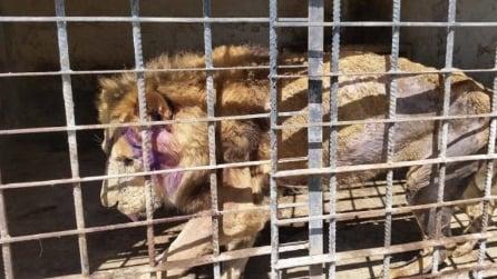 265 animali stanno morendo di fame rinchiusi in uno zoo in Yemen