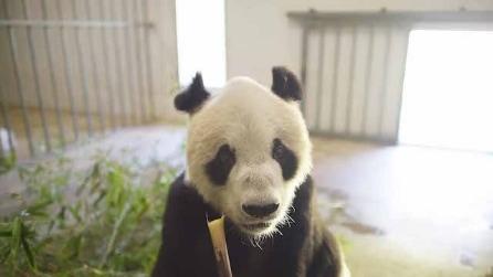 Pan Pan è morto a 31 anni, era il panda più anziano del mondo