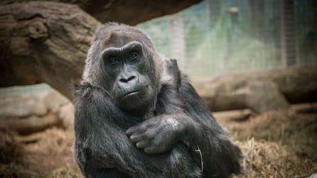 Colo, il gorilla nato e vissuto sempre in uno zoo, muore a 60 anni